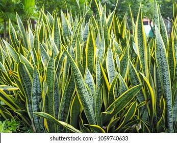 Snake plant in the park . Scientific name : Sansevieria trifasciata Prain . Other name : Mother in law tongue , Viper's bowstring hemp . can remove carbon dioxide .