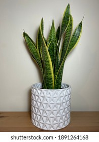 Snake Plant in white ceramic vase on wood against white, isolated - potted Dracaena trifasciata houseplant with green leaves, vignette