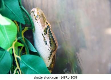 Snake python head is in the terrarium