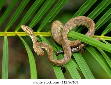 Snake in a rainforest - Tree Boa Constrictor snake, Corallus hortulanus