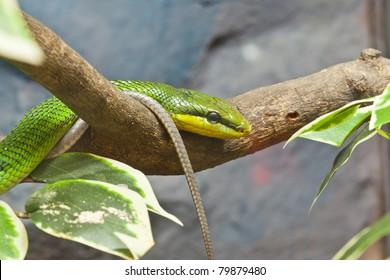 Snake, Red-tailed Rat-snake