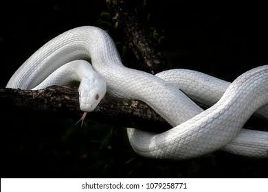 Snake - Reptile Series