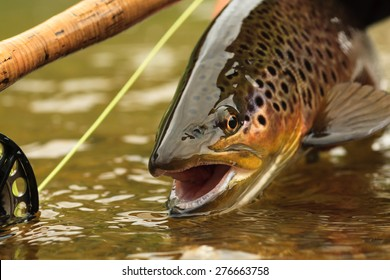 Snake River Brown Trout