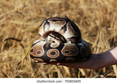 The snake Royal Python, or Ball Python regius rests on the hands of a field of ripe wheat Triticum, the end of August.