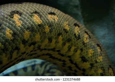 Snake scales, Green anaconda