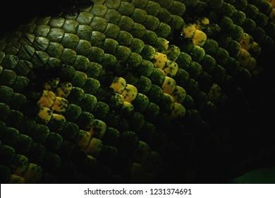 Snake scales, Green anaconda