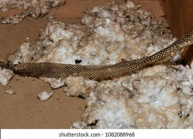 Snake Skin in Attic on Blown Insulation