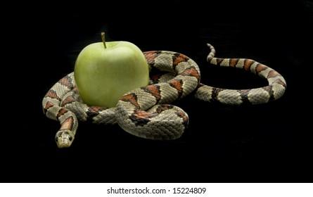 Snake slithering around an apple on a black background