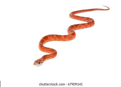 Snake slithering in front of white background, studio shot (Pantherophis obsoletus)