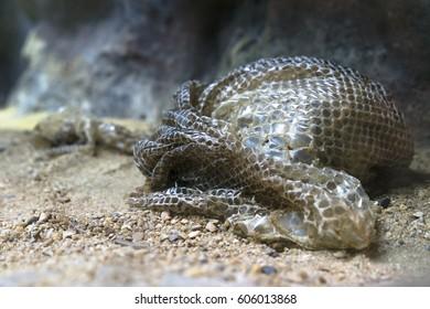 snake slough after snake moulting, sloughing, shedding on the ground