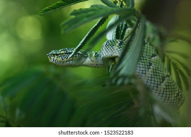 The snake Sumatran viper hanging on the branch