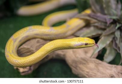 A snake at a terrarium in a zoo, orthriophis taeniurus albino