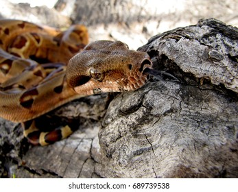 Snake in tree, Red tail boa