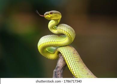 Snake trimeresurus purpureomaculatus is a venomous pit viper species native to Southeast Asia. Common names include: green mangrove pit viper, green mangrove viper.