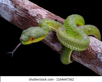 Snake viper, white lipped tree viper. venomous snake, trimeresorus albolabris on black background