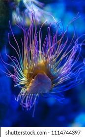 Snakelocks sea anemone (Anemonia viridis), a sedentary marine coelenterate in a group of marine, predatory animals of the order Actiniaria, found in the eastern Atlantic Ocean to the Mediterranean Sea