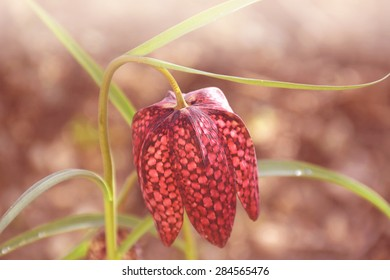 Snake's head fritillary flower (fritillaria meleagris) in early spring. This flower has a chequered pattern in shades of purple./Snake's head fritillary
