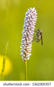 Snakeweed (Polygonum bistorta) flower blooming with assasin fly  insect covered in pollen