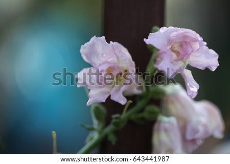 snap dragon flowers stock photo edit now 643441987 shutterstock