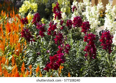 Snapdragon. Antirrhinum majus L. Scrophulariaceae. Celosia argentea L. cv. Plumosa. Amaranthaceae. Flowers, orange, red, yellow, white and beautiful gardens.