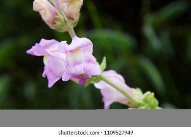 snapdragon flowers in a spring day