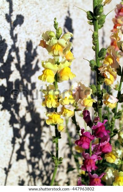 Snapdragons (Antirrhinum majus) in a kitchen garden. Inland Catalonia