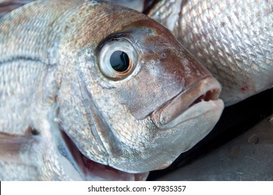 Snapper sea water fish caught in New Zealand close up of face and eyes