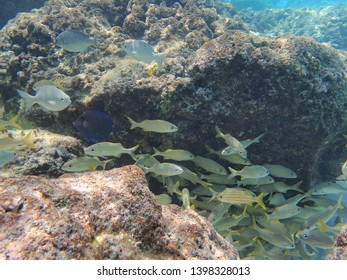 Snappers are a family of perciform fish, Lutjanidae, and inhabit tropical and subtropical regions of all oceans hiding in schools close to the coral reefs.