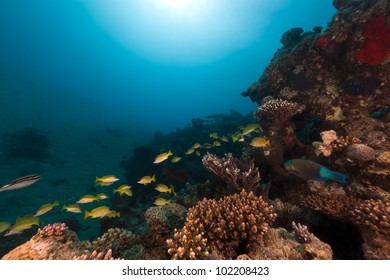Snappers and tropical reef in the Red Sea