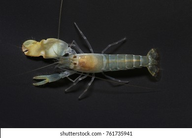 Snapping shrimp, Alpheus angulosus