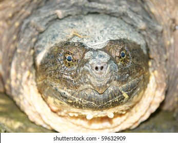 Snapping Turtle (Chelydra serpentina) at Deer Run Forest Preserve - Illinois