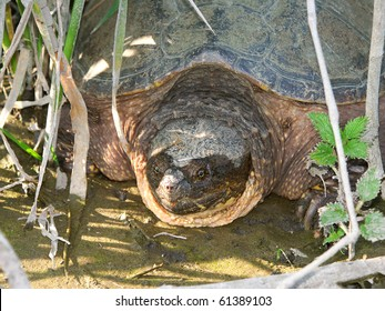 Snapping Turtle (Chelydra serpentina) at Deer Run Forest Preserve in Illinois