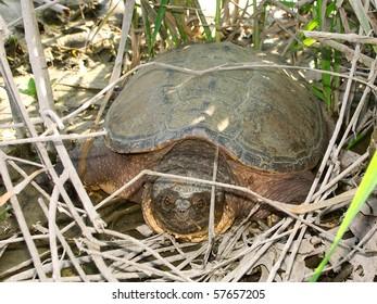 Snapping Turtle (Chelydra serpentina) - Illinois