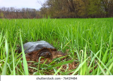 Snapping Turtle (Chelydra serpentina) sits in a wetland of Illinois