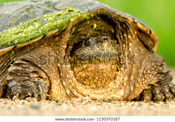 Snapping Turtle Minnesota Agnieszka Bacal Stock Photo (Edit Now