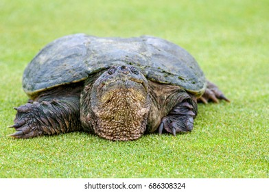 The snapping turtle is New York's official state reptile.