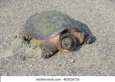 snapping turtle on gravel half in shell  half head.