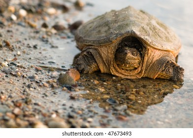 snapping turtle on gravel at waters edge