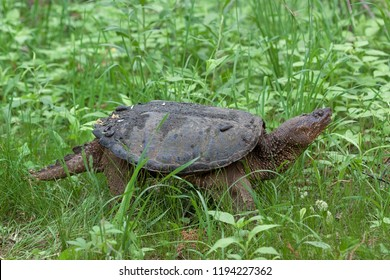 A snapping turtle slowly crawls through dense grass and underbrush on its way back to the lake. Several leeches have hitched a ride on top of her shell.