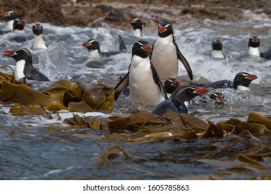 The Snares Penguin is found only on New Zealand's sub-Antarctic island of Snares.  The island's stormy weather makes it a difficult penguins to see.  It is photogenic and social and playful.