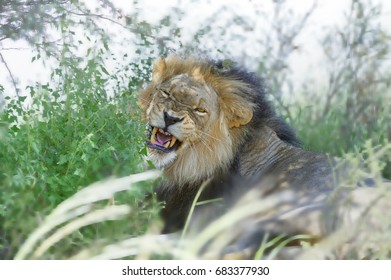 SNARL.  A male lion in the Kalahari shows his displeasure. South Africa,