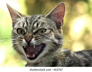 Snarling Cat