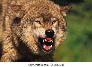 Snarling Grey Wolf