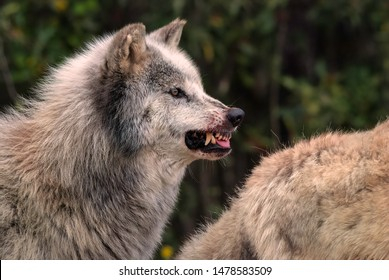 Snarling grey wolf with blood on its muzzle warns other members of the pack to wait until he's finished eating to move in on a fallen deer
