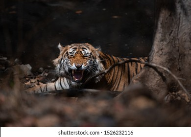 Snarling Male Tiger in Ranthambhore National Park, Rajasthan, India. He is the dominant male of the area (T86) and he tolerates no one's presence in his territory, man or animal.