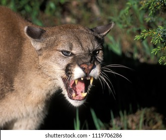 Snarling Mountain Lion.