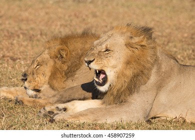snarling young adult male lion in profile next to his sleeping brother