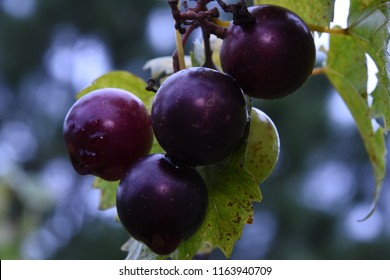 Sneads Ferry, NC. USA.  August 24, 2017. Muscadine Grapes. Vitus rotundifolia