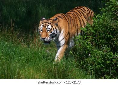 A sneaking female Amur Tiger in a green field