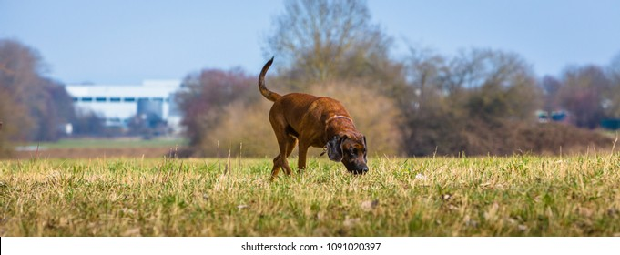 sniffer dog searching a trail on a meadow